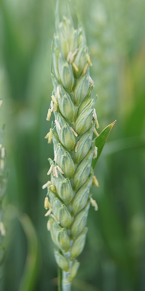 Wheat Flower